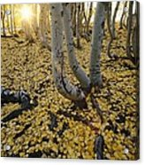 Aspen Trees Stand Above A Carpet Acrylic Print