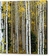 Aspen Trunks Acrylic Print