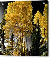 Aspens 2 Acrylic Print