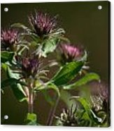 Aster Before Or After Acrylic Print by Jessica Lowell