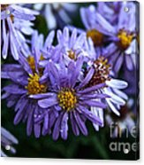 Aster Dew Drops Acrylic Print