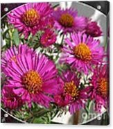 Aster Named September Ruby Acrylic Print