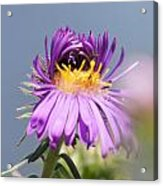 Asters Starting To Bloom Acrylic Print