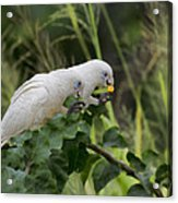 At The Dinner Table Acrylic Print