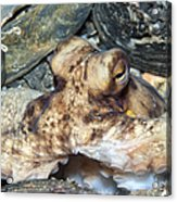 Atlantic Octopus In Shell Debris Acrylic Print