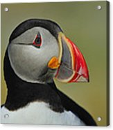 Atlantic Puffin Portrait Acrylic Print