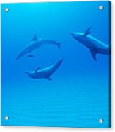 Atlantic Spotted Dolphins Acrylic Print