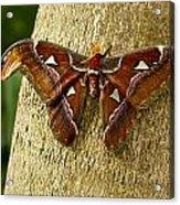 Atlas Moth Acrylic Print