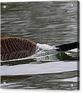 Attack Of The Canadian Geese Acrylic Print