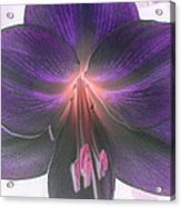 Aubergine Amaryllis Acrylic Print
