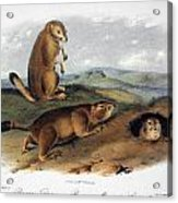 Audubon: Prairie Dog, 1844 Acrylic Print