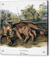 Audubon: The Cougar Acrylic Print