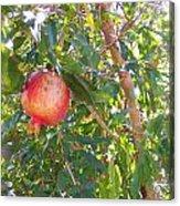 Aunt Tissy's Pomegranate Tree  Acrylic Print