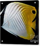 Auriga Butterfly Fish Acrylic Print