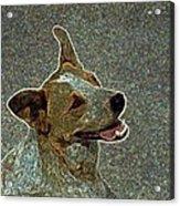 Australian Cattle Dog Mix Acrylic Print