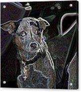 Australian Cattle Dog Sheltie Mix Acrylic Print