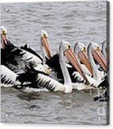 Australian Pelicans Acrylic Print