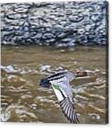 Australian Wood Duck In Flight Acrylic Print