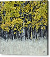 Autumn Aspen Grove Near Glacier National Park Acrylic Print