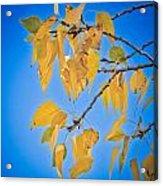 Autumn Aspen Leaves And Blue Sky Acrylic Print