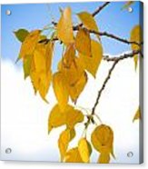 Autumn Aspen Leaves Acrylic Print