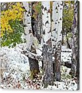 Autumn Aspens And Snow Acrylic Print