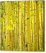 Autumn Aspens Vertical Image  Acrylic Print