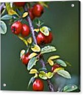 Autumn Berries Acrylic Print