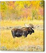 Autumn Bull Limited Edition Acrylic Print