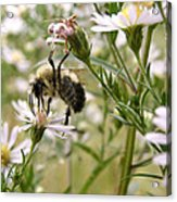 Autumn Bumblebee And Flowers Acrylic Print