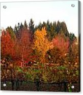 Autumn Colors In The Vineyard Acrylic Print