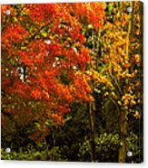 Autumn Fall Tree In Purchase New York Acrylic Print