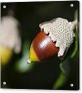 autumn fruits - Mediterranean acorn macro Acrylic Print