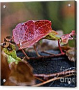 Autumn Ivy In Red Acrylic Print