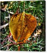 Autumn Leaf And Juniper Needles Acrylic Print