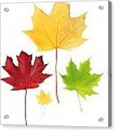Autumn Leaves Isolated Acrylic Print