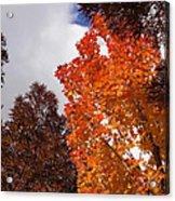 Autumn Looking Up Acrylic Print