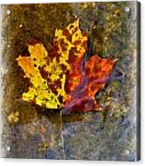 Autumn Maple Leaf In Water Acrylic Print
