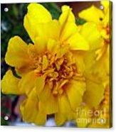 Autumn Marigold 2 Acrylic Print