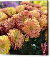 Autumn Mums Acrylic Print