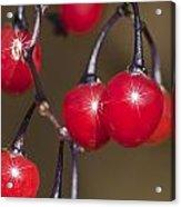 Autumn Red Berry Sparkle Acrylic Print