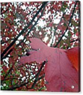 Autumn Red Maple Tree Acrylic Print