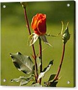 Autumn Rose Acrylic Print