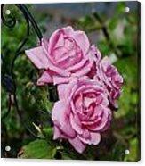 Autumn Roses Acrylic Print