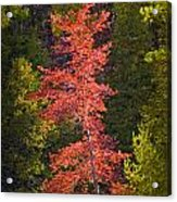 Autumn Scene Of Colorful Red Tree Along The Little Manistee River In Michigan No. 0902 Acrylic Print