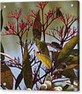 Autumn Snow Berry Bush Acrylic Print