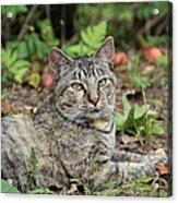 Autumn Tabby Cat #2 Acrylic Print
