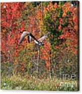 Autumn Vermont Geese And Color Acrylic Print
