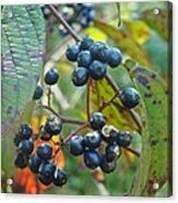 Autumn Viburnum Berries Series #2 Acrylic Print