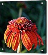 Autumn's Cone Flower Acrylic Print